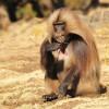 Ethiopia – Male Gelada Baboon