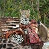 Leopard in a carcass