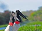 Pantanal – Birds