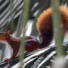 Amazon Red Squirrel
