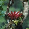 Peru Bromeliad in a Tree