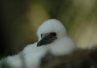 Brown Booby Chick