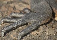 Marine Iguana foot