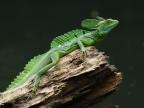 Nicaragua – Batrachians/Reptiles