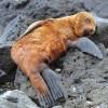Galapagos – Juvenile Galapagos Sea Lion