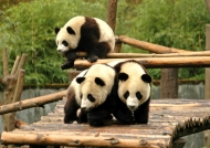 China Giant Panda in Wolong