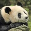 China Giant Panda in Wolong