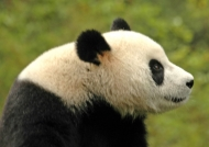 Chine Giant Panda in Wolong