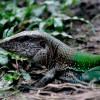 Amazonia Green Ameiva