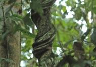 Peru Lianas – Rainforest
