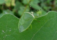 Bug (Nezara viridula)