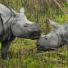 One-Horned Rhinos