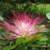 Peru Pink Powderpuff Calliandra