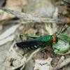 Red-eyed Grasshopper