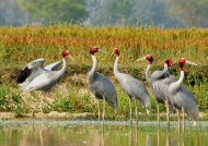 Sarus Cranes