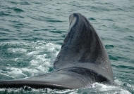 Tail of Southern Right Whale