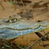 Amazonia White caïman