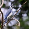 Nicaragua White-throated Magpie-Jay