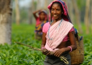 Work in a tea plantation