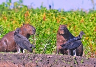 Capivaras & Vultures