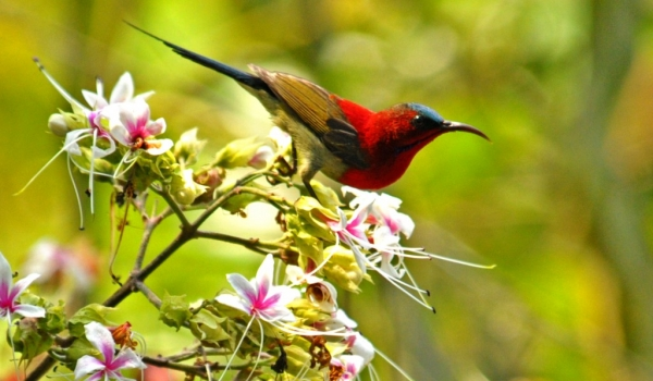 India Crimson Sunbird