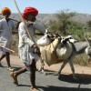 Shepherds carrying lambs