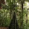 Peru Walking Tree