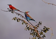 Zambia – Carmine Bee-Eater & Lilac Breasted Roller