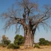 Zambia – Big Baobab