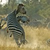 Botswana – Zebras