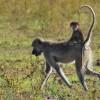 Zambia – Chacma Baboon with baby