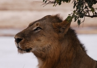 Zambia – Deep Thought of a lion!
