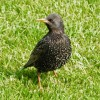Scotland European Starling