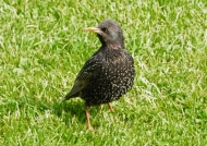 Scotland European Starling