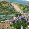 Field of Alaskan lupines