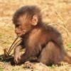 Young Gelada Baboon