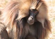 Male Gelada Baboon