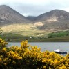 Mull Gorse Bushes near a lake