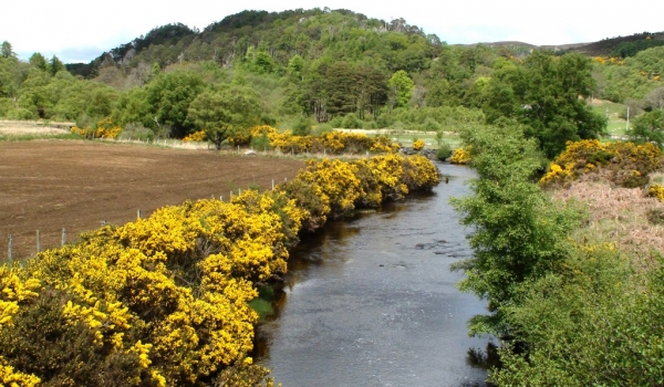 Scotland Gorse bushes near the river