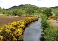 Scotland Gorse bushes near the river