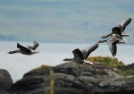 Scotland Greylag Geese