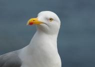Scotland – Herring gull