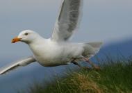 Scotland Herring Gull