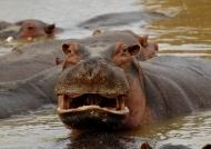 Zambia – Hippo.