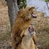 Zambia – Lions mating