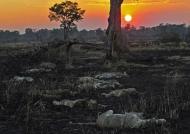 Zambia – Lions resting at sunset