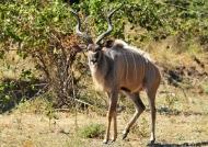 Zambia – Male Kudu