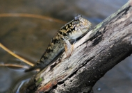 Mudskipper on land