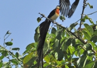 Paradise whydah-buff. weaver