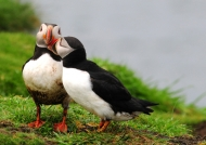 Scotland Puffins in love on Lunga Island